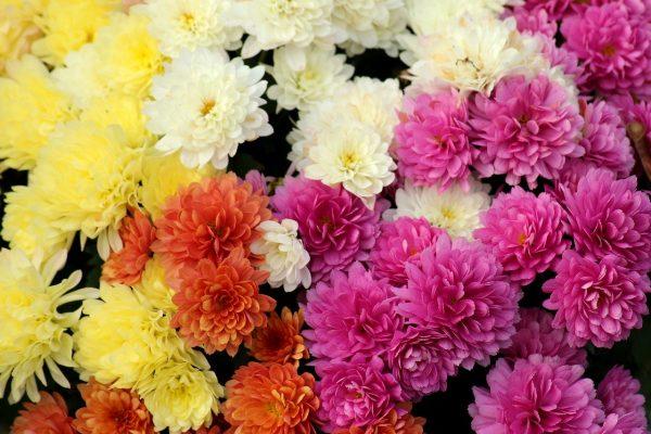 chrysanthemum-3789009_1280